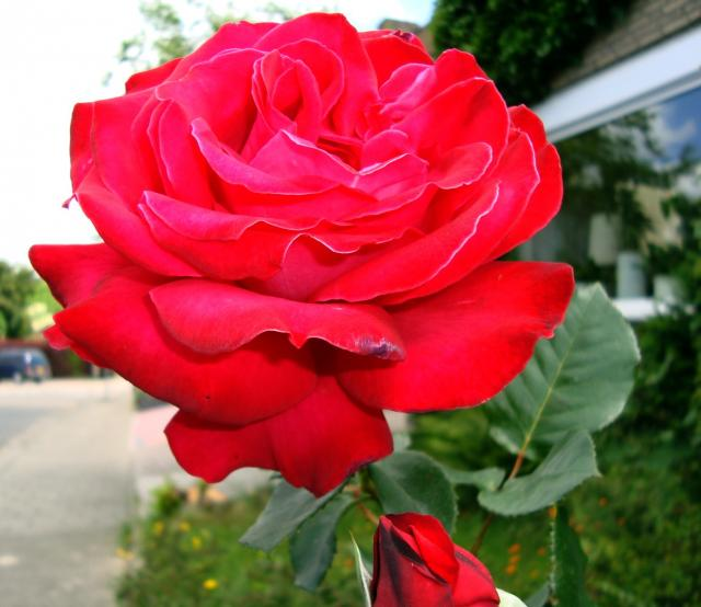 rose-0306.jpg